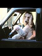 車から犬が顔を出すのが好き!