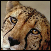 チーター/Cheetah