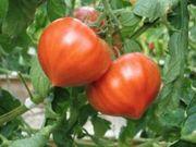 ファーストトマト