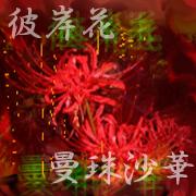 彼岸花(曼珠沙華 )