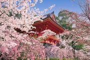 京都の桜旅