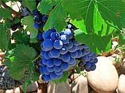 シラーズなワインの探求