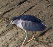 Night heron【五位鷺】