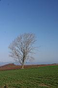 哲学の木(美瑛町)
