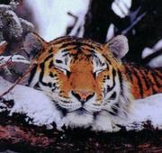 虎が大好き
