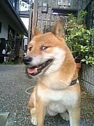 豆柴犬*マメシバ*豆しば*陸*B'z