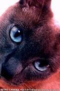青い目のにゃんこ