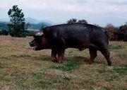 フジロック豚