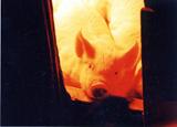 古代豚 白石農場/古代豚工房