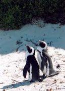 ♡ケープペンギン♡
