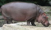 CLUBTEAM:HIPPOPOTAMUS!