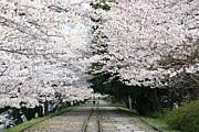 京都さくら(花)&紅葉フォト