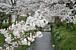 被災地へ届け!桜前線2011