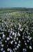 Flax :  Linum usitatissimum
