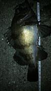 四国メバル釣り