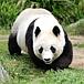 神戸・王子動物園の仔パンダさん