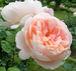 無農薬・減農薬でバラ栽培