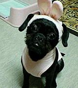 ミックス犬 パグプー