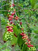 ★コーヒーの木育て隊★