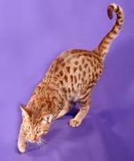 水玉柄の猫〜オシキャット組♪