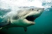 サメ好きダイバー友の会