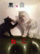 黒ネコ×白ネコ