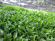 日本茶インストラクター10期生