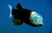 深海魚デメニギス