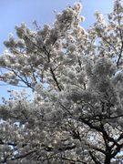桜を見にいこう!!(@_@;)