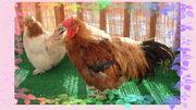 チキンハートBOYS AND GIRLS