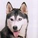 ハスキー犬と結婚したい
