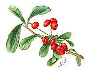 ボタニカルアート〈植物画〉