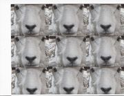 club小羊