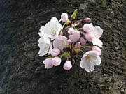 日本・桜クラブ