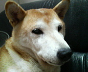 柴犬100匹と寿司詰め状態