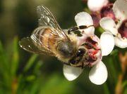 蜂群崩壊症候群