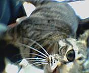 猫科の猛獣を飼いたい