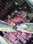 魚人-UONCHU-