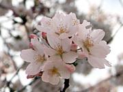 松戸でお花見