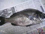 大阪湾のチヌ・黒鯛釣り