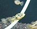 熱帯魚〜フグにハマってます