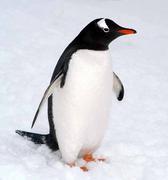 ペンギンはジェンツーに限る!