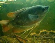 熱帯魚辞典をつくりたい!
