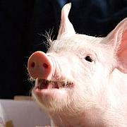 野生豚を守ろうの会