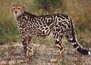 キングチーター/king Cheetah