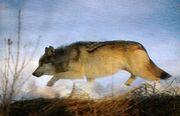 野生の狼は孤高の地を駆ける
