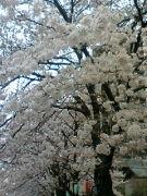 ♪上柚木中学校〜誇りあれ〜♪