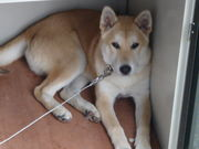 韓国犬 珍島犬 天然記念物