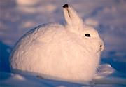 ホッキョクウサギ