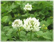 Ra*kuu∞Four-leaf clover